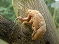 Cicada skin on the tree Royalty Free Stock Photos