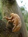 Cicada skin on a tree Royalty Free Stock Photo