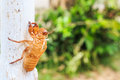 Cicada slough holding on a tree Stock Image