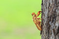 Cicada slough or molt hold on the tree close up Royalty Free Stock Photography