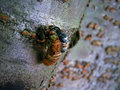 Cicada starting to emerge begins from it s larva and slowly enters the world without its shell Royalty Free Stock Photography