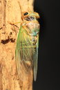 Cicada transformation cryptotympana facialis in japan Stock Photo