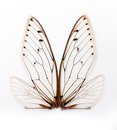 Cicada wings. Royalty Free Stock Photo