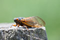 Cicada year resting on a wooden stump Royalty Free Stock Photos