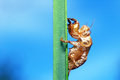 Cicadas case and blue sky Royalty Free Stock Photos
