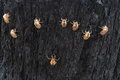 Cicada cocoons on burnt tree bark Royalty Free Stock Photo
