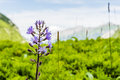 Cicerbita alpina alpine sow thistle alpine blue sow thistle flowering plant Royalty Free Stock Images