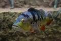 Cichla ocellaris, Peacock Bass. Exotic fish in aquarium