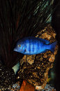 Cichlid fish in aquarium Royalty Free Stock Images