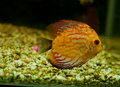 Cichlid fish decor the photo was made with the aquarium Stock Photography