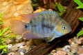 Cichlid fish Royalty Free Stock Photo