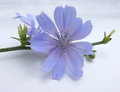Cichorium flower herb blue Royalty Free Stock Image
