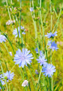 Cichorium flower on the meadow Stock Photography