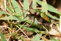 Cicindela campestris Royalty Free Stock Images