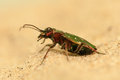 Cicindela campestris beautiful predatory beetle Royalty Free Stock Image