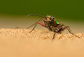 Cicindela campestris the world seen from up close Stock Image