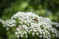 Cicuta virosa cowbane or northern water hemlock and trichodes apiarius Stock Images