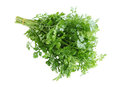 Cilantro bunch of fresh isolated on white background Royalty Free Stock Image