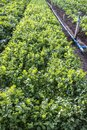 Cilantro Coriander Herb leaves detail in a garden irrigated by sprinkling in a family farm Royalty Free Stock Photo