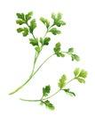 Cilantro, coriander twig