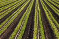 Cilantro Farm Crop Rows Stock Images