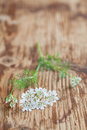 Cilantro flower little white flowers on wooden background Royalty Free Stock Photo