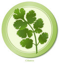 Cilantro Herb Royalty Free Stock Images