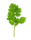 Cilantro isolated on white background Royalty Free Stock Images