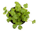 Cilantro plant herb isolated on white Royalty Free Stock Photography
