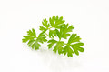 Cilantro sprig a single of fresh or coriander isolated on a white background Stock Photography