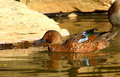 Cinamon Teal duck Stock Photography
