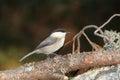 Cincia bigia bird Royalty Free Stock Photo