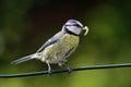 Cincia  bird Royalty Free Stock Photo