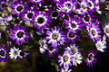 Cineraria 06 Royalty Free Stock Photography