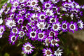 Cineraria 08 Stock Photo