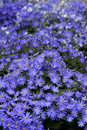 Cineraria Stock Photo