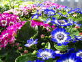 Cineraria aster Stock Photography