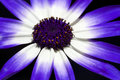 Cineraria Flower Closeup Stock Images