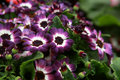 Cineraria flowers Stock Images