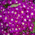 Cineraria flowers bouquet closeup natural background Stock Images