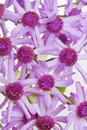 Cineraria Macro Stock Photo