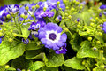 Cineraria Venezia Royalty Free Stock Photography