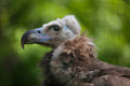 Cinereous vulture (Aegypius monachus). Royalty Free Stock Photo