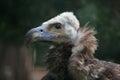 Cinereous vulture (Aegypius monachus). Royalty Free Stock Photo