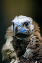 Cinereous vulture portrait Royalty Free Stock Photo