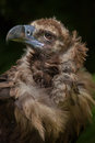 Cinereous vulture (Aegypius monachus) Royalty Free Stock Photo