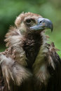 Cinereous vulture & x28;Aegypius monachus& x29; Royalty Free Stock Photo