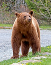 Cinnamon american black bear the is a color phase of the it is often mistakenly identified as a grizzly Royalty Free Stock Image