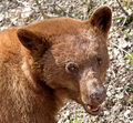 Cinnamon american black bear the is a color phase of the it is often mistakenly identified as a grizzly Stock Photo