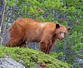 Cinnamon american black bear the is a color phase of the it is often mistakenly identified as a grizzly Royalty Free Stock Photo
